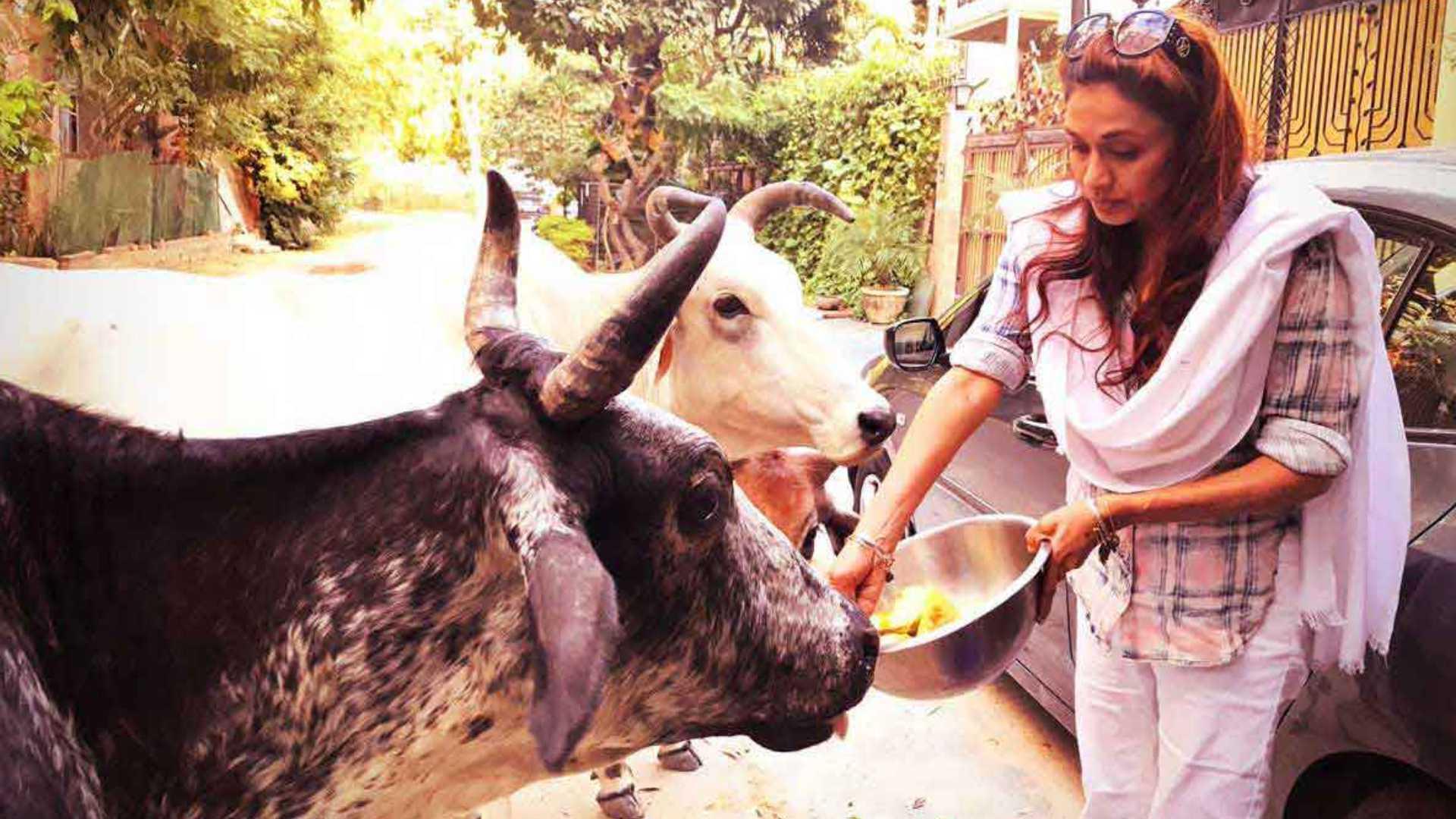 Dr.Sanjana Jon Feeding street cows
